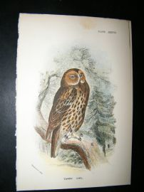 Allen 1890's Antique Bird Print. Tawny Owl